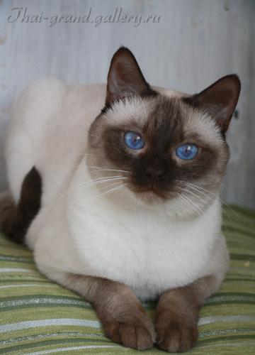 Тайские коты питомники