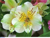 Цветы похожие на лилии только маленькие 168