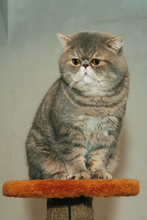 помнить, что тольятти вязка кошки европейская перед вами